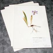 100% Rag Herbarium Mounting Paper